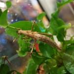 Stabschrecken (Phasmiden)