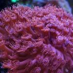 Rote Goniopora