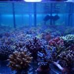Viele verschieden Korallen-Ableger von Korallenfarm