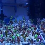 Kleinere Korallenablegern aus deutscher Nachzucht