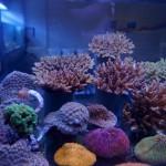 Wildbrüche von Korallen
