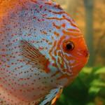 Diskusfische oder Diskusbuntbarsche (Symphysodon)